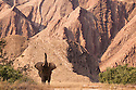 Namibia;  Namib Desert, Skeleton Coast,  desert elephant (Loxodonta africana) bull raising trunk in front of  mountain