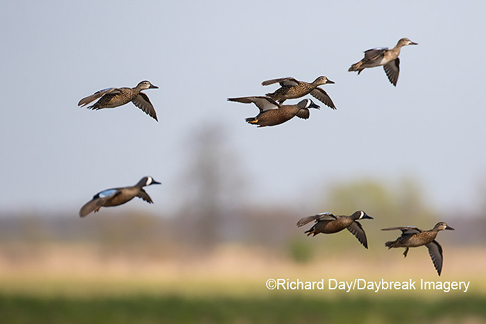 00722-02819 Blue-winged Teal (Anas discors) in flight, Marion Co., IL