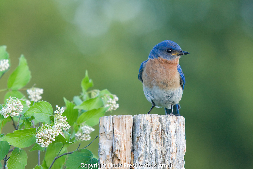 Male eastern bluebird perched on an old fence post