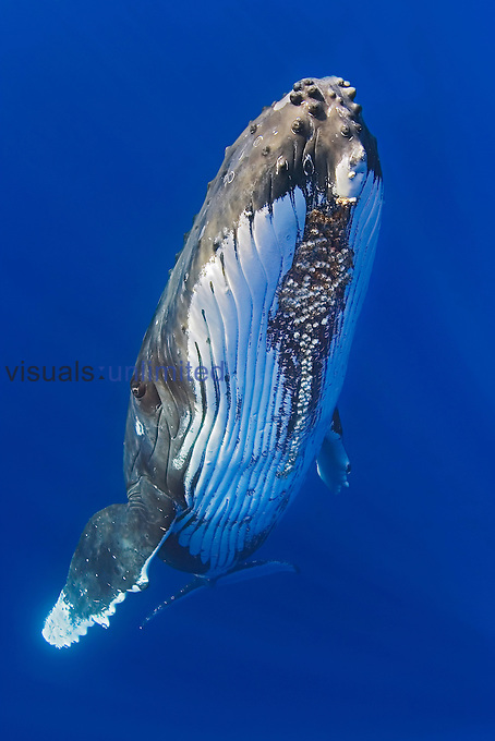 Humpback Whale (Megaptera novaeangliae) with Whale Barnacles attached under its chin (Coronula diaderma), Hawaii, Pacific Ocean. This species of Barnacle is found only on Humpback Whales.