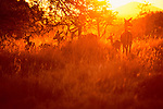Female impalas with their young are silhouetted by the golden light of the early morning sun in the Maasai Mara Game Reserve Kenya.