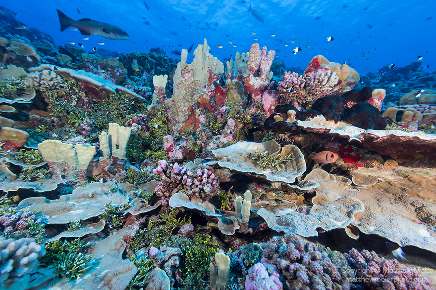 Fakarava Atoll, Tuamotu Archipelago, French Polynesia; plate corals, green algae and sponges on the reef with a red snapper fish swimming above