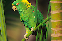 Yellow-naped amazon parrot (Amazona ochrocephala), Central and South America