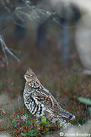 Ruffed grouse on the ground.