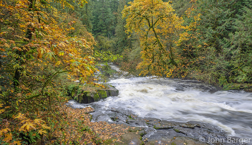 USA, Washington, Camas, Lacamas Park, Autumn colored bigleaf maple border Lower Falls on rain swollen Lacamas Creek.