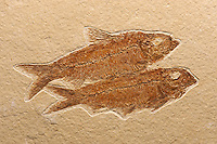 Two fossil fish (Knightia spp.) Green River Formation, Wyoming. Eocene epoch