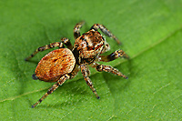 Braune Springspinne, Evarcha falcata, Jumping spider, Springspinnen, Salticidae, Jumping spiders