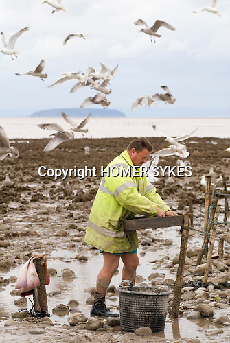 The Last Mudhorse Fishermen. UK 2008. The Sellick family, Stolford, Bridgewater Bay, Somerset. Steep Holm island Bridgewater bay. Adrian sorting out fish caught in the nets.