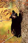 Clinging to an oak during an Indian Summer day, a black bear cub demonstrates his skill in climbing trees.