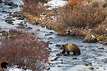 Grizzly bear crossing mountain creek. Bridger-Teton National Forest, Wyoming.