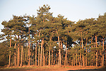 Coniferous trees, Rendlesham, Suffolk, England