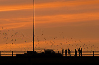 World's largest urban colony of Mexican free-tailed bats emerges to feed during pink sunset from the Congress Avenue Bridge in Austin, Texas, USA.jpg