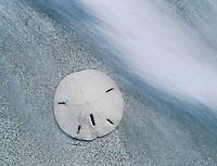 Keyhole Urchin, Sanddollar, Mellita quinquiesperforata, on beach, Sanibel Island, Florida, USA, Dezember 1998
