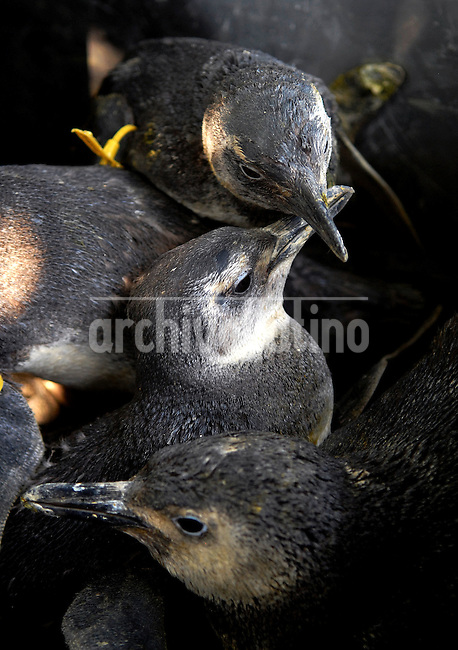 Magellanic penguins rescued off the coast of Rio de Janeiro state wait to receives treatment from veterinarians at the Niteroi Zoo, Rio de Janeiro, Brazil, July 25, 2008. The magellanic penguins get to the Argentinian and Uruguayan coast during their migration from the Patagonia to Brazil in July. While large numbers of penguins arrive on Rio de Janeiro's beaches every year, swept to sea by strong ocean currents from the Strait of Magellan, this year is seeing higher numbers and more dead penguins than usual. More of 150 penguins are treated by veterinarians at Niteroi Zoo and, according to officials, over 400 baby penguins have been found dead on the state's shores over the past two months. Penguins were transported by boat and freed in the south of Brazil in september when Spring arrives. (Austral Foto/Renzo Gostoli)