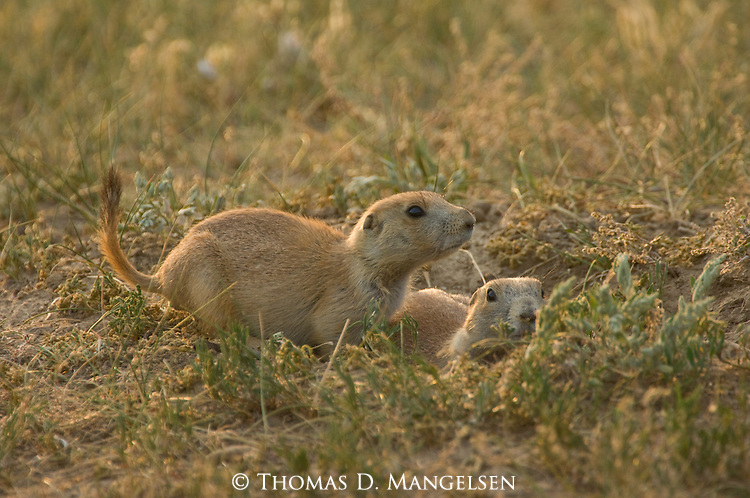 Two prairie dogs peek out of their burrow in Custer State Park, South Dakota.