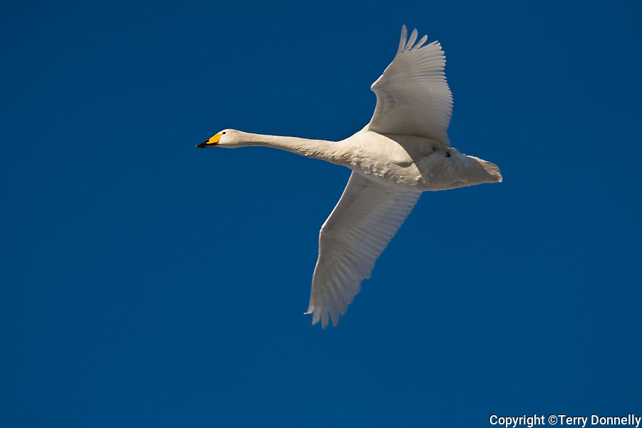 Hokkaido, Japan<br /> Whooper Swan (Cygnus cygnus) flying in a  formation over Lake Kussharo, Akan National Park