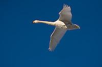 Hokkaido, Japan<br /> Whooper Swan (Cygnus cygnus) flying in a  formation over Lake Kussharo, Akan National Park