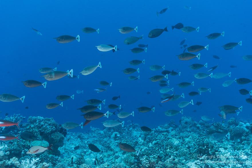 Apataki Atoll, Tuamotu Archipelago, French Polynesia; a school of spotted unicornfish swimming over the coral reef