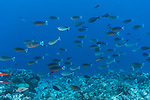 Apataki Atoll, Tuamotu Archipelago, French Polynesia; a school of spotted unicornfish swimming over the coral reef