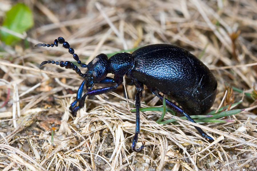 Schwarzblauer Ölkäfer, Schwarzer Maiwurm, Meloe proscarabaeus, Meloë proscarabaeus, oil beetle, black oil beetle, European oil beetle, le Méloé printanier