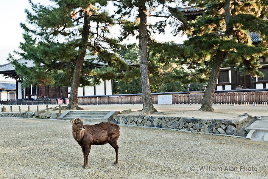 Deer at Koufuku-ji in Nara Japan January 2010