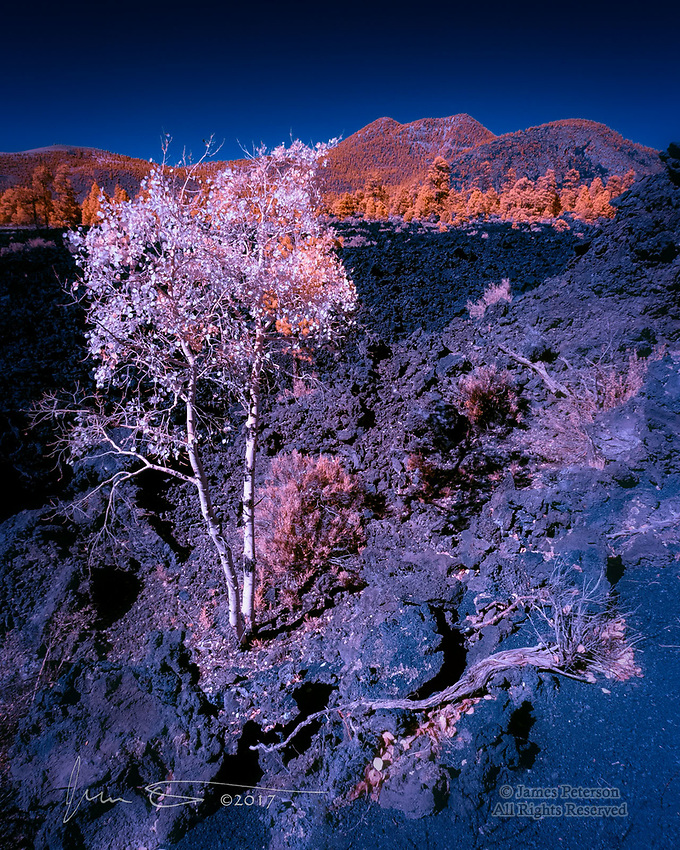 Volcanic Aspens (Infrared) ©2017 James D Peterson.  The lava flow in Arizona's Sunset Crater National Monument, northeast of Flagstaff, is a pretty harsh environment for trees, but that doesn't stop them from giving it a try.  These two small aspens have found a way to endure, if not quite flourish, in those tough conditions.