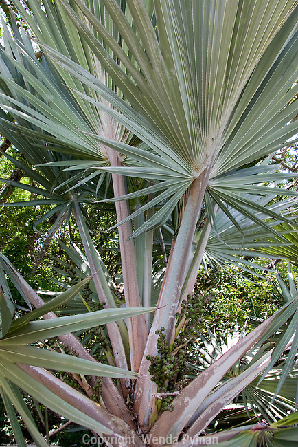The silver thatch palm is drought and salt resistant.