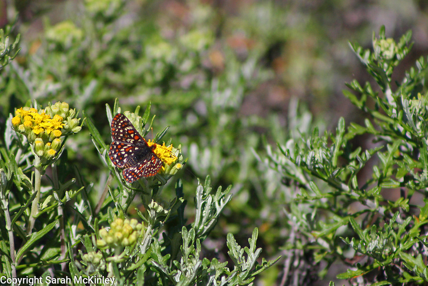 A checkerspot butterfly drinks nectar from a yellow flower surrounded by green leaves.