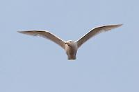 Glaucous Gull - Larus hyperboreus - Adult
