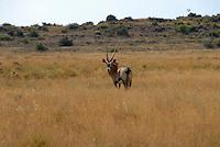4415 / Spiessbock: AFRIKA, SUEDAFRIKA, 6.01.2007:Landschaft in der Halbwueste Karoo, Spiessbock