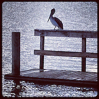 Pelican on a dock in the Halifax River, Holly Hill, FL. iPhone photo from the Instagram photostream of bcpix, Florida-based freelance photographer Bran Cleary.  (Photo by Brian Cleary/www.bcpix.com)