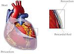 Pericardium (Heart Covering)
