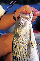 Striped bass caught on Cordell Redfin crankbait in Lake Ouachita, Arkansas
