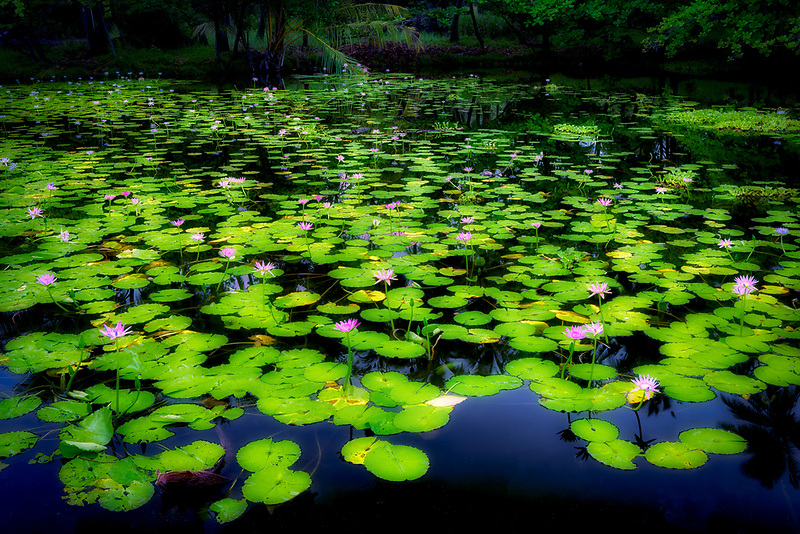 Water lilies at pond at Black sand Beach. Hawaii, THe Big Island. Punaluu Black sand Beach