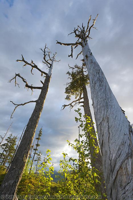 Spruce, Hemlock and Cedar trees in Prince William Sound, Alaska