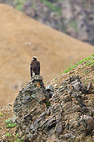 Golden Eagle, Denali National Park, Interior, Alaska.