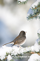 01569-014.04 Dark-eyed Junco (Junco hyemalis) on Blue Atlas Cedar (Cedrus atlantica 'Glauca') in winter, Marion Co.  IL