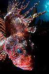 Shortfin lionfish, Dendrochirus brachypterus, Twilight Zone, Laha, Ambon harbour, Banda Sea, Moluccus, Indonesia, Pacific Ocean