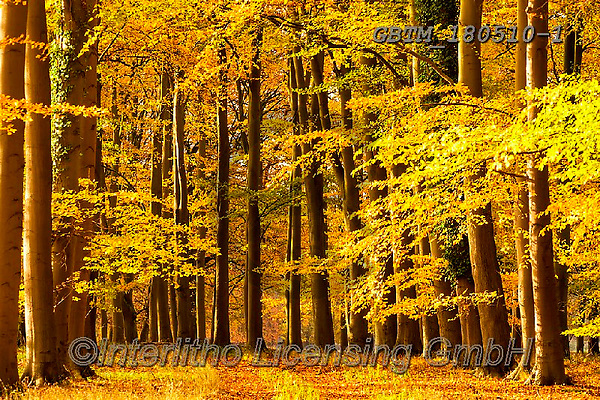 Tom Mackie, LANDSCAPES, LANDSCHAFTEN, PAISAJES, photos,+Britain, British, East Anglia, England, English, Europe, European, Great Britain, Norfolk, Thetford, Tom Mackie, UK, atmosphe+re, atmospheric, autumn, autumnal, beech, color, colorful, colour, colourful, country lane,deciduous, dramatic outdoors, envi+ronment, environmental, fagus, fall, forest, gold, golden, horizontal, horizontals, inspiration, inspirational, inspire, land+scape, landscapes, lane, leaves, mood, moody, path, pathway, pathways, scenery, scenic, se,Britain, British, East Anglia, Eng+,GBTM180510-1,#l#, EVERYDAY