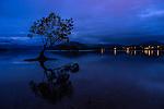"""That Wanaka Tree"" in the town of Wanaka in New Zealand."