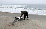 MANASQUAN, NJ - (Dec., 5, 2013) - State animal control officer Kevin Rooney covers the remains of an Atlantic common dolphin soon after it died at the Whiting Avenue beach in Manasquan Thursday afternoon. A measles-like infection has killed hundreds of marine mammals all along the Jersey Shore throughout the year.