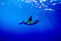 Manta Ray, Hawaiian Waters