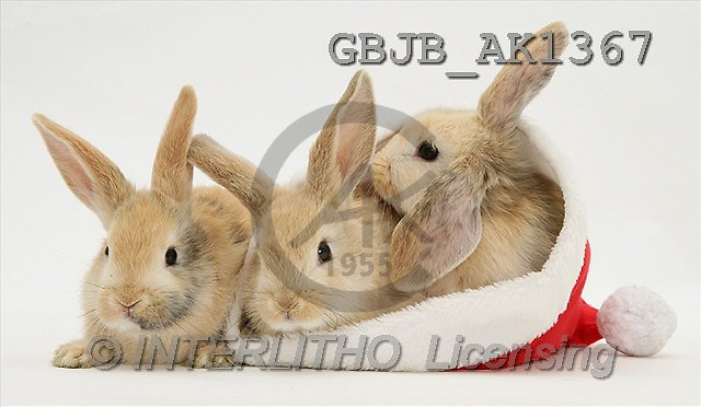 Kim, CHRISTMAS ANIMALS, photos(GBJBAK1367,#XA#) stickers