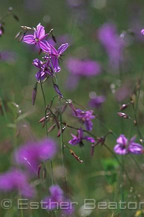 Nodding Chocolate-lily (Arthropodium fimbriatum) Rare occurance of mass flowering. Mulligan's Flat Nature Reserve, Canberra, Australian Capital Territory