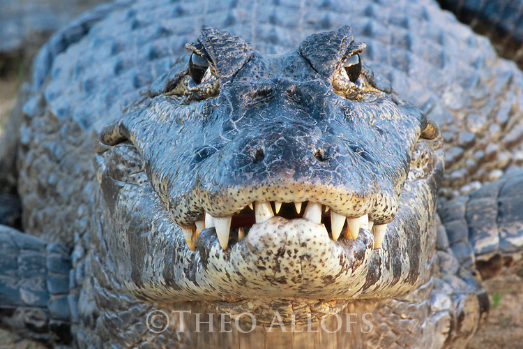 Adult spectacled caiman (Caiman crocodilus) in the Pantanal, Brazil.