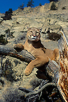 656326154 a captive mountain lion felis concolor watches over his domain from a large tree branch in central montana