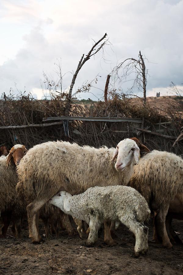 GAZA,Erez: A lamb is drinking the milk of a ewe. Hassan and other sheperds bring the sheeps in the lands of Erez in order that they can eat enough to produce milk for the lambs but also to sell the milk. <br /> <br /> GAZA, Erez: GAZA, Erez: Un agneau boit le lait d'une brebis. Hassan et autres bergers emm&egrave;nent moutons  et brebis dans les terres d'Erez afin qu'ils puissent manger suffisamment pour produire du lait pour les agneaux, mais pour le vendre.