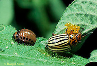 1C28-051z   Colorado Potato Beetle - adult, larva, eggs - Leptinotarsa decemlineata