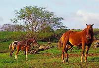 Horses grazing, Kula, Upcountry Maui