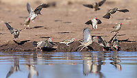 Flocks of red-billed quelea flew into for a drink at Mashatu's watering hole hide quite frequently.